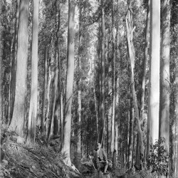 View of track through forest on Mount Donna Buang, Victoria (1914).